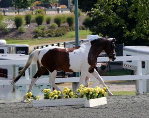 Lourdess - MMB Oldenburg Tobiano Mare by Lord Sinclair