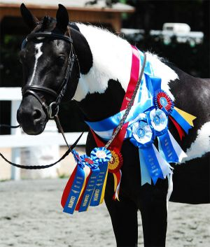 Sandro D – Pinto Oldenburg stallion by Sandro Hit – bred and owned by Logres Farm