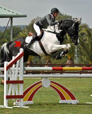 Commander Pinto Oldenburg Stallion